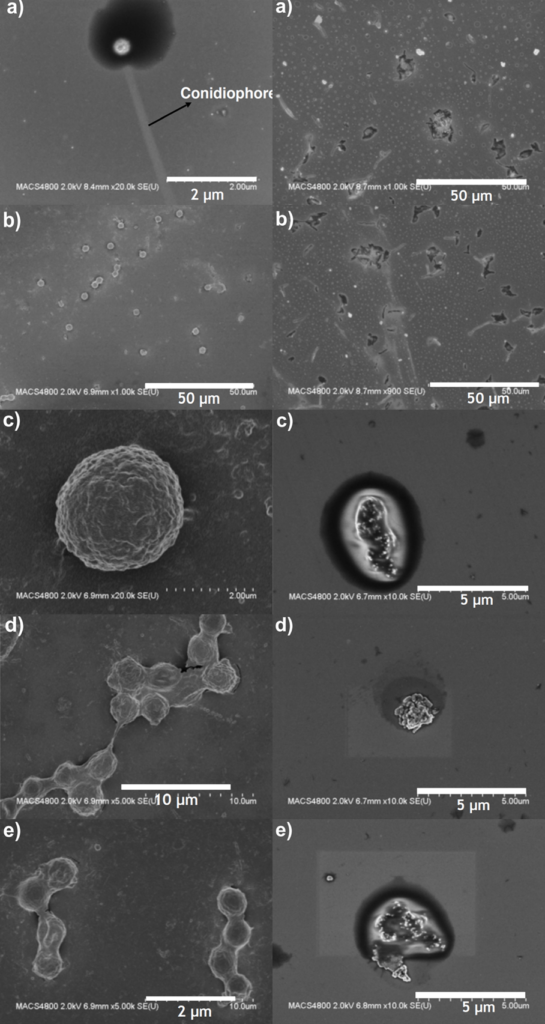 Aspergilus elektronmikroszkópos összehasonlítás
