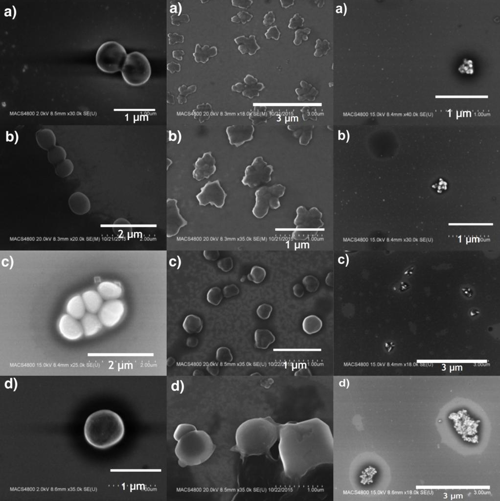 Epidermidis_elektronmikroszkópos összehasonlítás